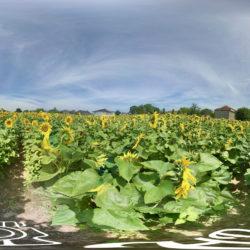 Sonnenblumenfeld in bester Blüte - 360˚ HD-Panorama © René Blanke