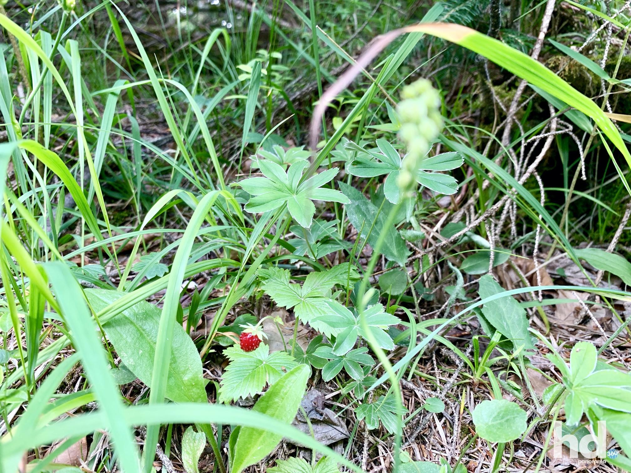 Wilde Erdbeeren als kleine Wegzehrung am Kranzberg, Mittenwald Kleine Kapelle am Kranzberg, Mittenwald, Foto © HD-Panorama