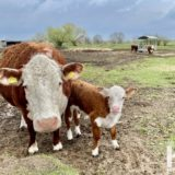 Kuh mit Kalb © Foto René Blanke