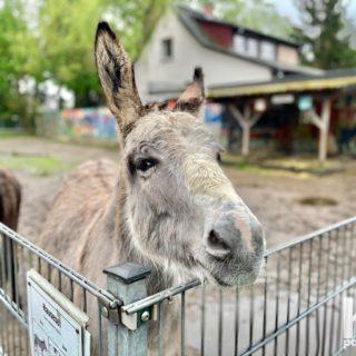 Hey, was guckst Du? 😂  #hdpanorama #hdpanoramade #madewithlove #esel #hausesel #donkey #lustig #potsdam #wirliebenpotsdam #fürpotsdam #potsdamcity #visitpotsdam #potsdamproud #potsdamer #lebeninpotsdam #potsdamliebe #potsdamlove #potsdam_insta #Photo By © @hd.panorama